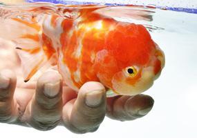 animalis poisson combattant