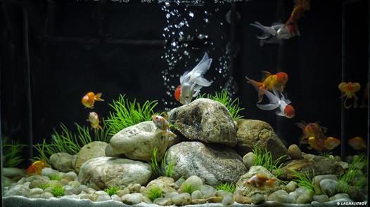 poisson rouge au fond de l aquarium