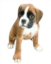 achat chien boxer