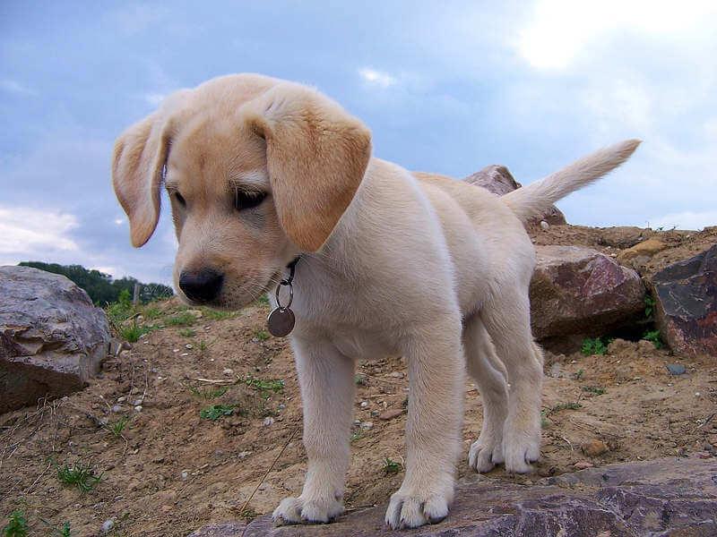 achat de chien en ligne