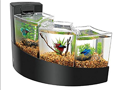 aquarium betta