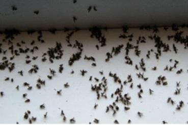 comment tuer des moucheron