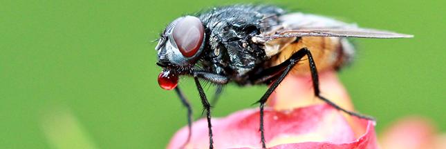éliminer mouches maison