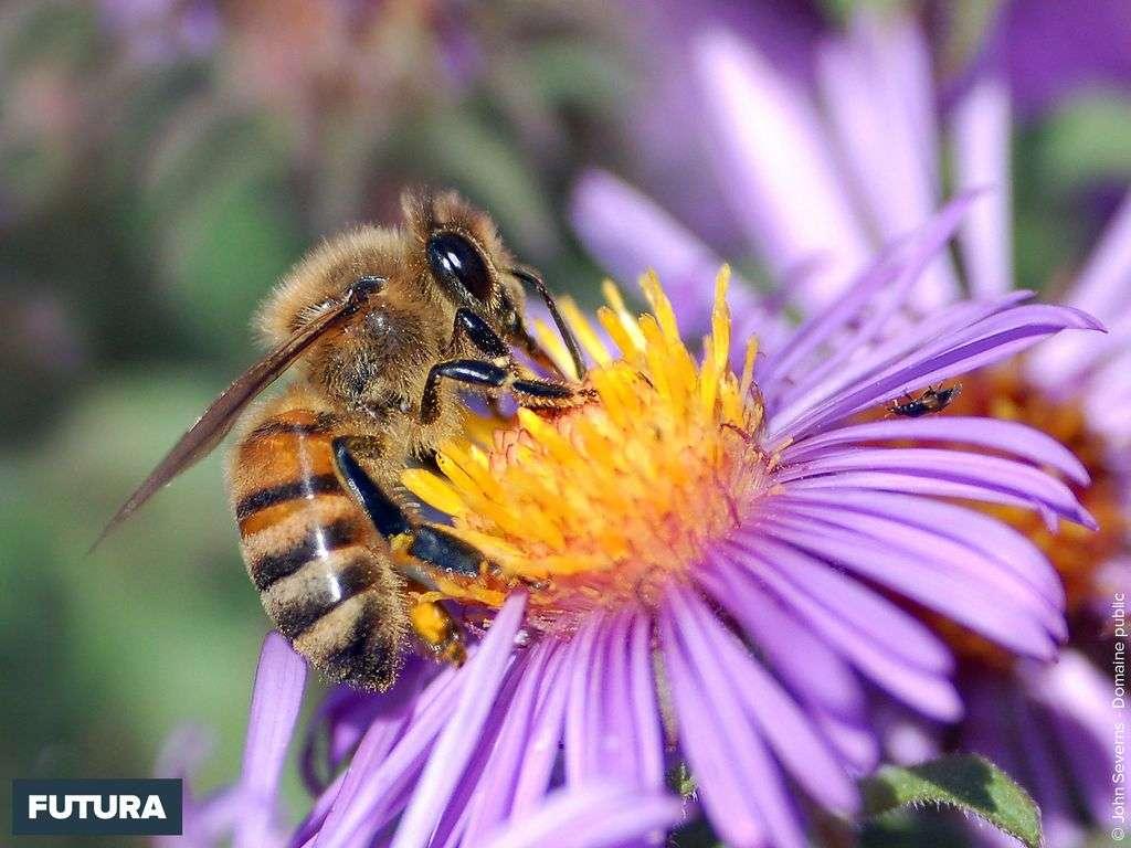 fond d écran abeille