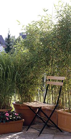 haie de bambou terrasse