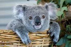 koala mignon