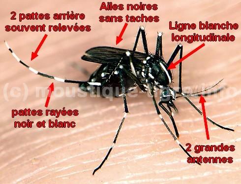 moustique blanc et noir