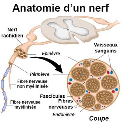 nerf définition
