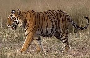 origine du tigre