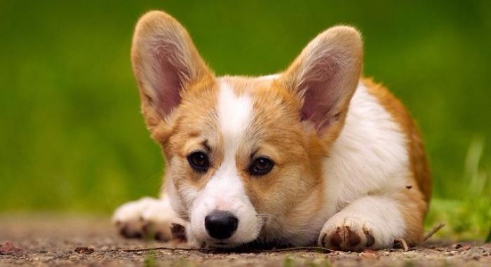 petit chien adulte mignon