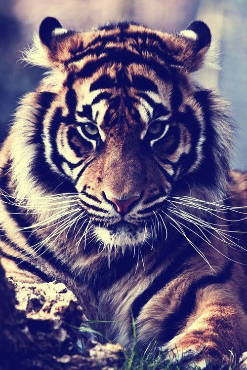 photo de tigre swag