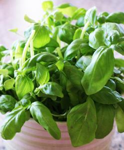 planter basilic en pot